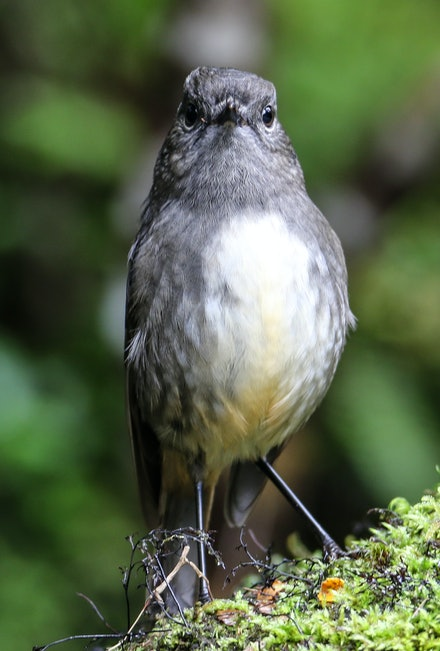 EOS73916 - South Island robin
