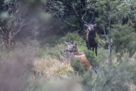 Red Deer EOS73495 - Red Deer