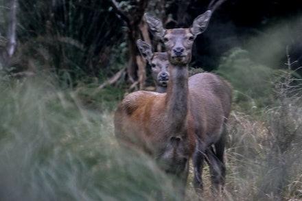 Red Deer Hind EOS73559 - Red Deer Hinds