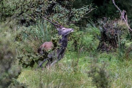 Red Deer Spiker EOS73968 - Spike Red Deer on the run