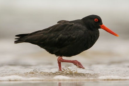 EOS71545 - Variable oystercatcher