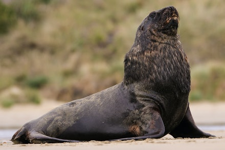 EOS71557 - New Zealand sea lion/rāpoka/whakahao