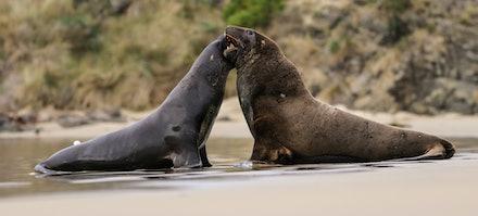 EOS71570 - New Zealand sea lion/rāpoka/whakahao