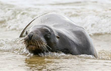 EOS71678 - New Zealand sea lion/rāpoka/whakahao