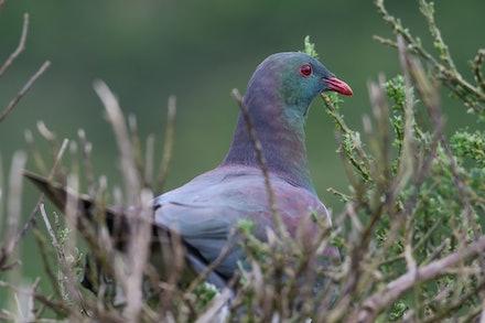 EOS70350 - New Zealand pigeon/kererū/kūkū/kūkupa