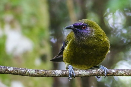 EOS73016 - Bellbird/korimako
