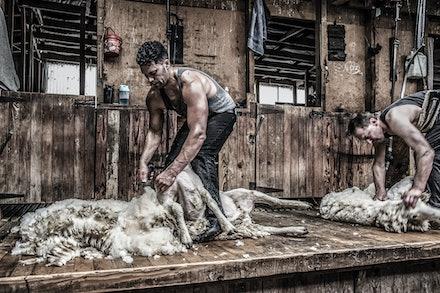 shearing-4-2
