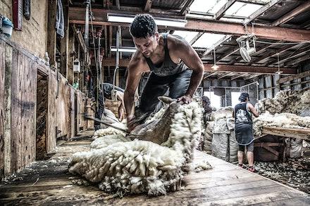 shearing-1