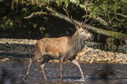 Red Deer Stag - red deer stag