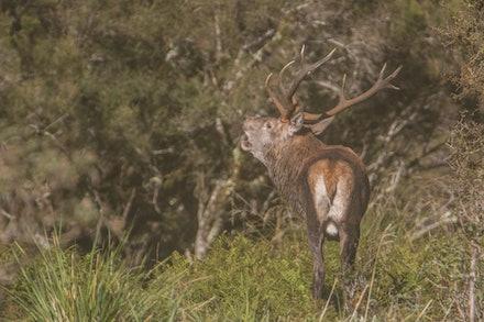 EOS76855 - red deer stag