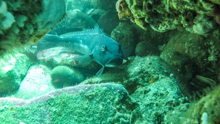 Blue Cod Nugget point