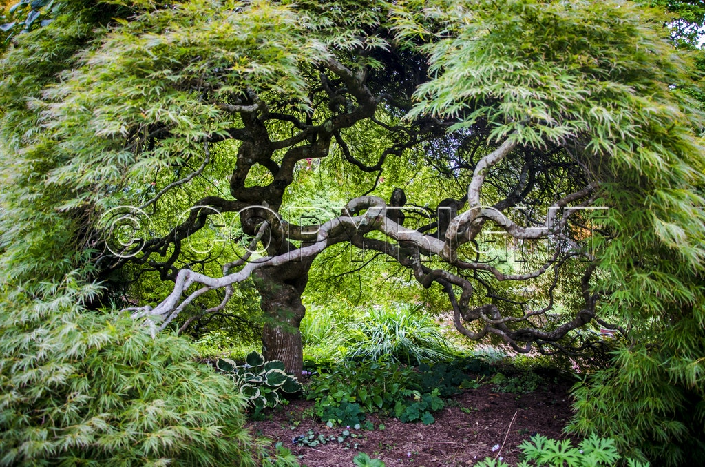 Old Japanese Maple - Old Japanese Maple