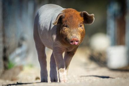 Happy Pig Farm
