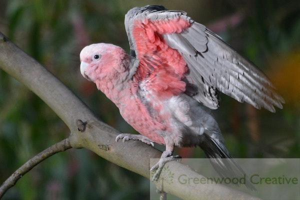 Young Galah testing its wings