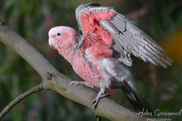 Young Galah testing its wings