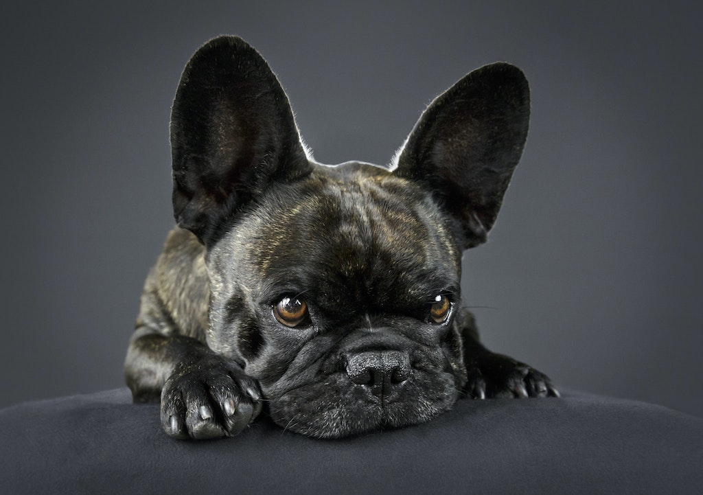 French Bulldog portrait melbourne