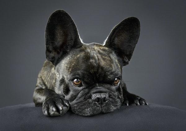 French Bulldog portrait melbourne