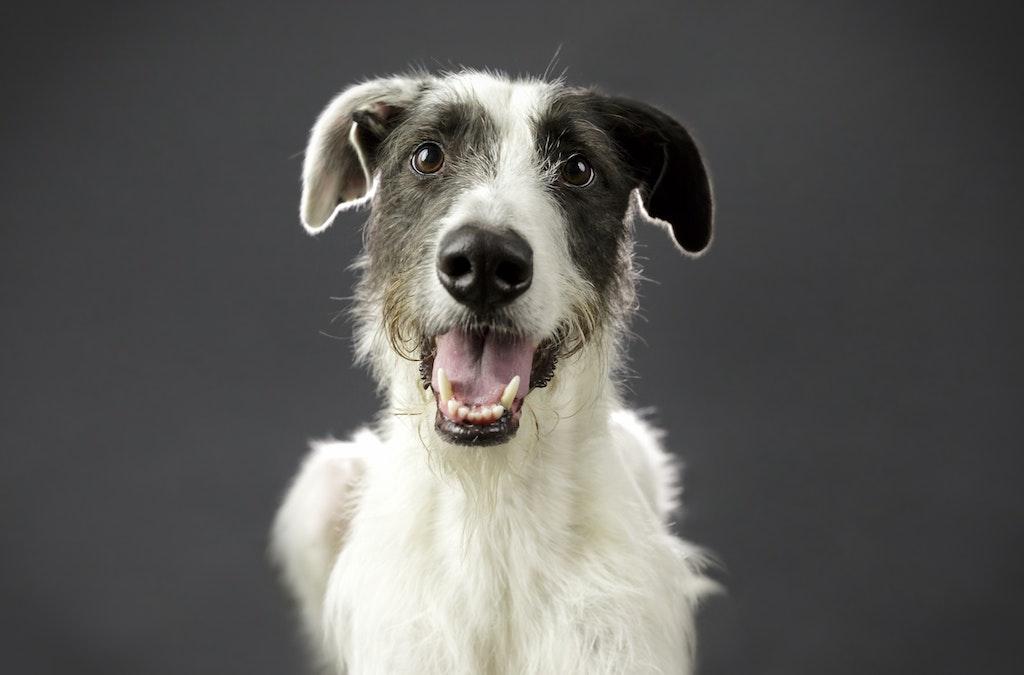 dog portraits melbourne