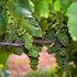 Grapes on Vine 2