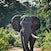 Elephant in Musdt