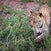 Leopard Cub 1 - Serengeti - Tanzania