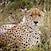 Serengeti Cheetah - Tanzania