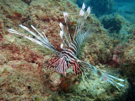 lion fish - OLYMPUS DIGITAL CAMERA