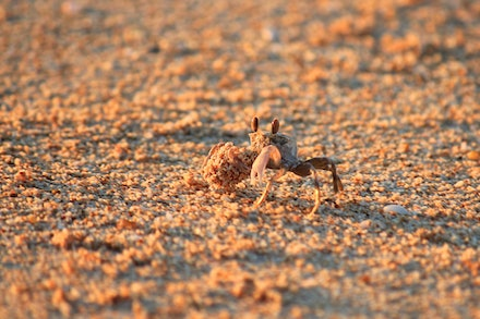 busy ghost crab
