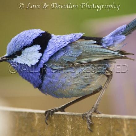 Little blue wren