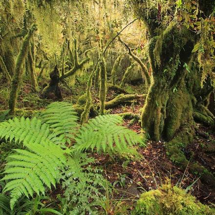 Goblin forest - Sub alpine forest Mt Taranaki