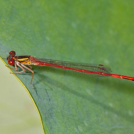 Red Damselfly (Male) - Xanthocnemis zelandica