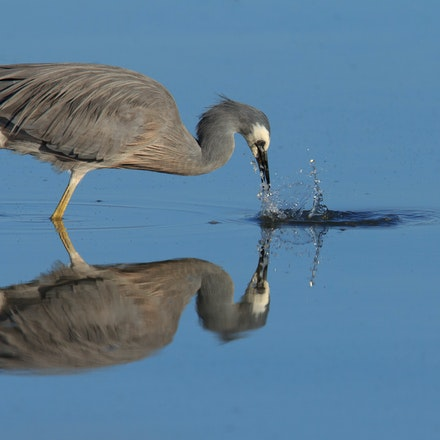 Heron Fishing - Ardea novaehollandiae