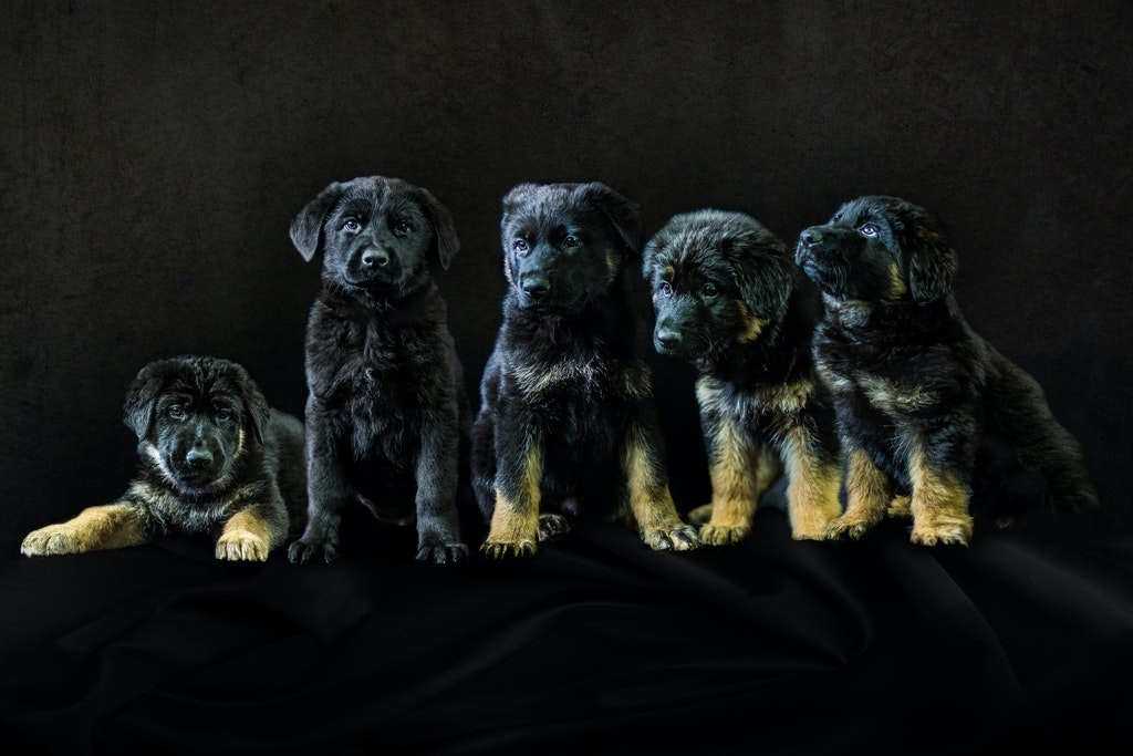 Soulseekers Chuck x Tiktoki Kal Yani Litter - From the left in order of birth: