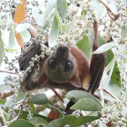 Little Red Flying Fox Pteropus scapulatus Kambi (Yalanji) - Little Red Flying Fox Pteropus scapulatus Kambi (Yalanji)