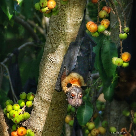 Cluster Fig, Ficus racemosa and Spectacled fruit bat. - Cluster Fig, Ficus racemosa