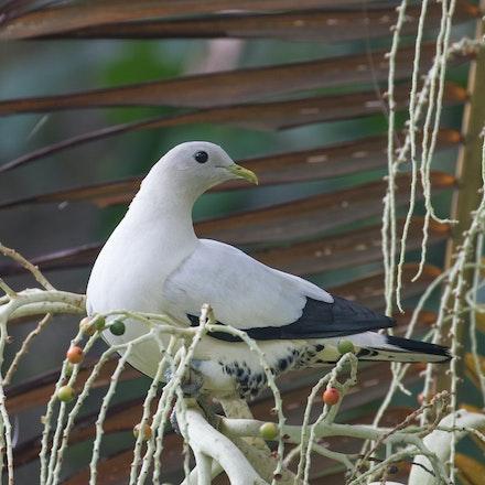 Torresian imperial pigeon, Ducula spilorrhoa, wabul (kuku yalanji) - Torresian imperial pigeon, Ducula spilorrhoa, wabul (kuku yalanji), pigeons, wet tropics...