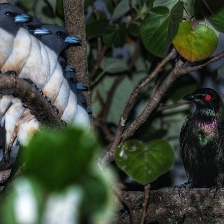Wood swallow ( Artamus leucorynchus)  , Metallic starling  (Aplonis metallica) - Wood swallow ( Artamus leucorynchus)  , Metallic starling  (Aplonis metallica)