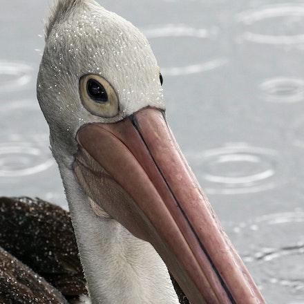 Pelican , Pelecanus conspicillatus - Pelican , Pelecanus conspicillatus