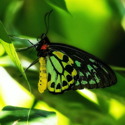 Cairns birdwing,  Ornithoptera euphorion - Cairns birdwing , Ornithoptera euphorion, butterfly, butterflies, insects, wet tropics, Daintree