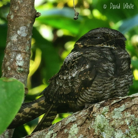 Large Tailed Nightjar  Caprimulgus macrurus - (press for more images) Large Tailed Nightjar  Caprimulgus macrurus