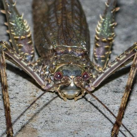 Phricta spinosa, Spiny Rainforest Katydid - Phricta spinosa, Spiny Rainforest Katydid , katydid, insects
