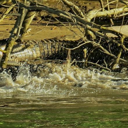 scarface, Dusty and Scuter - Crocodiles, crocodylus porsus, reptiles, crocodilians , wet tropics , Daintree