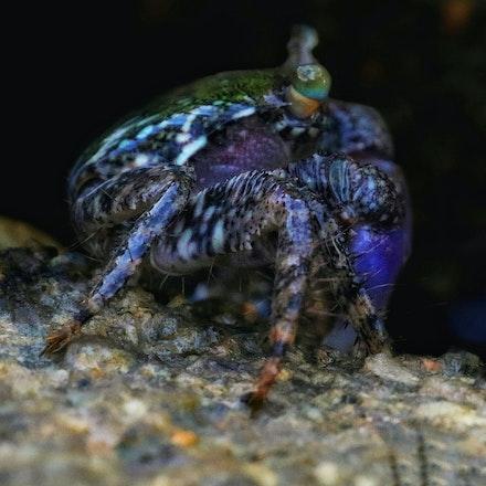 Broad-fronted mangrove crab  Metopograpsus frontalis - Broad-fronted mangrove crab  Metopograpsus frontalis