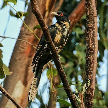 Young male Eastern Koel - Eastern Koel