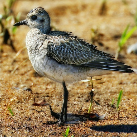 Pacific golden plover , Pluvialis fulva - (press for more images) Pacific golden plover , Pluvialis fulva
