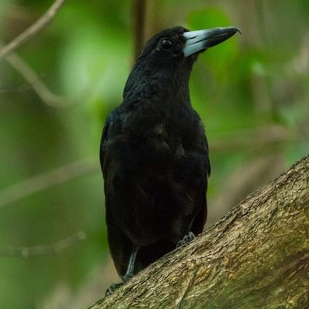 Adult - Adult butcher bird