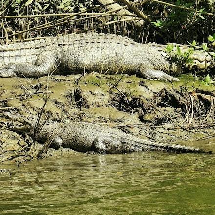 Scarface and  Lizzie - Crocodiles,  Crocodylus porous , crocodilian