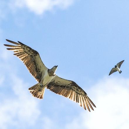 Osprey and wood swallow - Osprey and wood swallow
