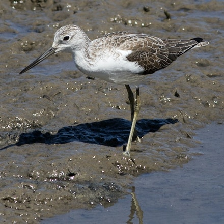 Common  greenshank (Tringa nebularia) - Common  greenshank (Tringa nebularia)