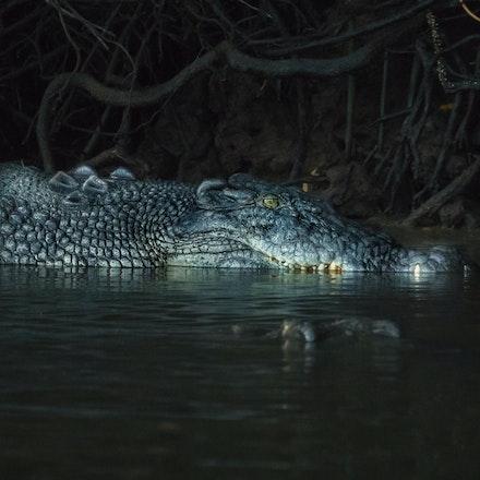 Game of thrones - Chopper and Scarface . Male saltwater crocodiles, crocodylus porous, salties , crocodile